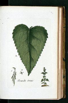 La Flore Des Environs De Paris34 Heart shaped leaf (+ img)