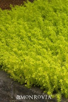 Angelina Sedum. Brilliant chartreuse-yellow, needle-like foliage forms a quick groundcover. Adds cheery color to containers, dry slopes and flowering borders, as well as being a good bulb cover. In winter, foliage turns orange in northern climates. Perennial. Zones 3-9, full sun. 3-6 inches tall. 2-3 feet wide. Perfect spiller.