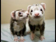 Funny animals: ferrets. Ferret