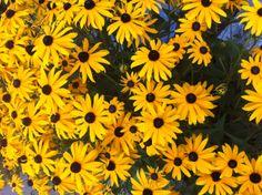 Happy Black-eyed Susans! #flowers #blackeyedsusans http://www.realfx.com/