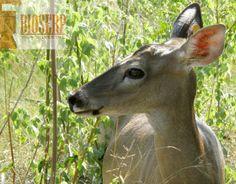 Venado cola blanca #deer whitetail