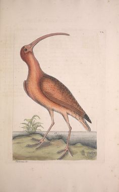 Scarlet Ibis. The natural history of Carolina, Florida and the Bahama Islands. By Mark Catesby. Vol. 1, 1st Ed. London [1729-1747]. biodiversitylibrary.org/page/40753369