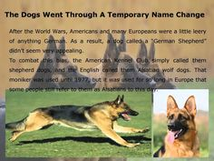 Texas Big German Shepherds | Noble Facts About