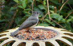 "Bird ""Tufted Titmouse"" 