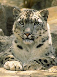 Frontal Portrait of a Snow Leopard's Face, Paws and Predators Stare, Melbourne Zoo, Australia Photographic Print
