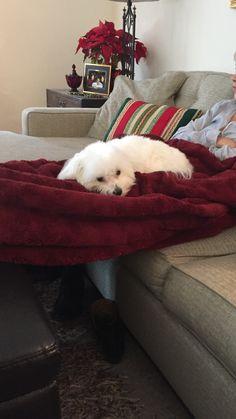 Nap time for a sleepy Maltese puppy.