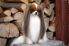 Gallery - Vive Vanette hodowla psów rasowych ras: Papillon i Phalene/ Beautiful… Happy Animals, Cute Animals, Papillion Puppies, Tiny Puppies, Training Your Dog, Little Dogs, Beautiful Dogs, Dog Pictures, Cute Dogs