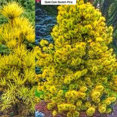 Gold Coin Scotch Pine Pinus sylvestrus Gold Coin Type: Evergreen Conifer Exposure: Full Sun Water: Drought Tolerant  First of all Happy Birthday to my beautiful wife @mrswesterncanadaglobe2017 who'suh29 today!  On to the subject at hand. It turns out that its not just deciduous plants that can change color in fall. This medium sized pine (15-20ft or 4.5-6m high by 4-6ft or 1.2  2m wide) turns a beautiful golden yellow in fall then holds that color throughout the winter before returning to…