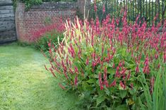 Persicaria amplexicaulis - Duizendknoop - De Tuinen van Appeltern