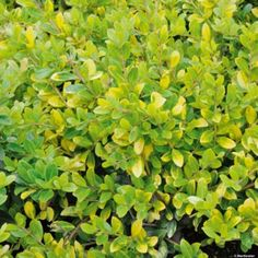 euphorbia 39 efanthia 39 s an evergreen perennial with whorls of red flushed dark green lance. Black Bedroom Furniture Sets. Home Design Ideas