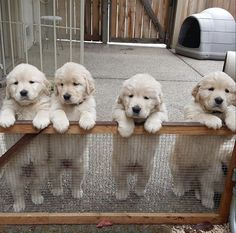 Golden Retrievers pl