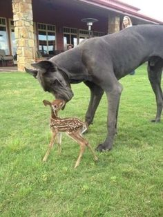 A Great Dane who is friends with a fawn