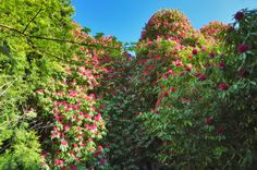Howth RHododendron gardens in Howth, Ireland--my current retirement fantasy