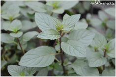 5 Top Medicinal Uses Of Peppermint | Mentha Piperita For Skin, Hair & Health | wildturmeric