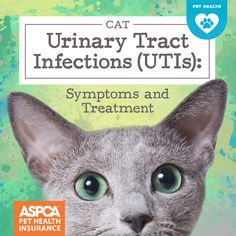 Cats are notorious for masking their symptoms or hiding around the house when they're ill, so you might not notice the signs of a urinary tract issue, particularly in the early stages. Cat Uti, Urinary Tract Infection Symptoms, First Time Cat Owner, Pet Health Insurance, Cat Signs, Cat Behavior, Cat Names, Cat Health, Dog Cat