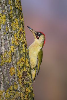 Photograph European green woodpecker by Roberto Melotti on 500px