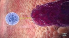 The role of PD-L1 in the local tumor microenvironment