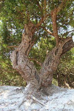 ΜΑΣΤΙΧΑ (5) | Tolis Flioukas | Flickr Chios Greece, Mastic Gum, Tree Trunks, Unique, Nature, Flowers, Plants, Trees, Fantasy
