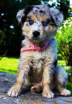 Australian shepherd puppy. Love their eyes!