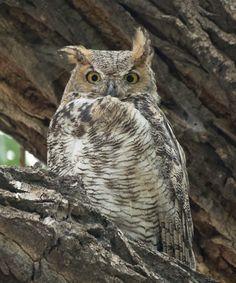Alert great horned owl
