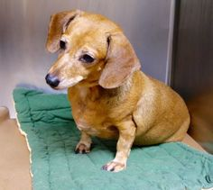 Manhattan center QUEENIE – A1085028 SPAYED FEMALE, TAN / WHITE, DACHSHUND, 5 yrs OWNER SUR – EVALUATE, NO HOLD Reason LLORDPRIVA Intake condition EXAM REQ Intake Date 08/11/2016, From NY 10457, DueOut Date 08/11/2016, I came in with Group/Litter #K16-069629.