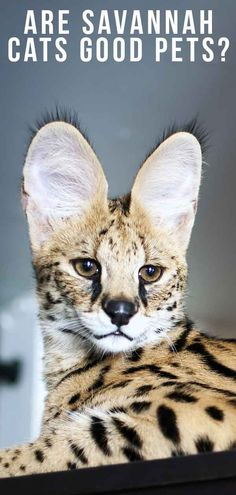 cat breeds If you're ready to own exotic cat, you may consider a Savannah cat, but are Savannah cats good pets? We look at the pros and cons or Savannah ownership, from safety to shedding, Kittens Cutest, Cats And Kittens, Cats Meowing, Pet Cats, Savanna Cat, Norwegian Cat, Animals And Pets, Cute Animals, Animals Images
