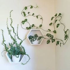 House plants do more than just brighten a room and make it look pretty. Although they can bring a room […] 49 Friendly House Plants For Indoor Decoration House Plants Decor, Garden Plants, Indoor Plants, Indoor Plant Decor, Wall Hanging Plants Indoor, Indoor Climbing Plants, Indoor Gardening, Vine House Plants, Organic Gardening