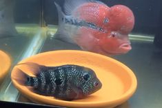 Male and Female Flowerhorn Fish Protect Eggs | Flowerhorn