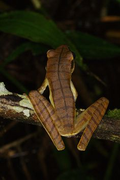 Basin Treefrog (Rana Lanceolada) - Hypsiboas lanciformis Hypsiboas lanciformis (Hylidae) is a South American tree frog whose dorsum is distinctive by having transverse dark brown stripes on a dark...