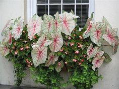 Caladium, wax begonia and ivy. These combine for a dramatic window box or container. Flower Pots, Shade Plants, Flowers, Container Plants, Garden Containers, Caladium, Window Box Flowers, Plants, Summer Window