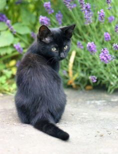 I want this black kitten! Cute Cats And Kittens, Kittens Cutest, I Love Cats, Fluffy Animals, Baby Animals, Cute Animals, Pretty Cats, Beautiful Cats, Black Cat Art