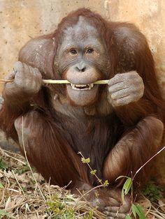 Orangutan (named Kyle?)