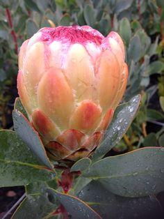 Proteaceae Protea Grandicolor flower