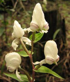 disperis fanninaea Kwazulu Natal, Wildflowers, Wildlife, Plants, Plant, Wild Flowers, Planets