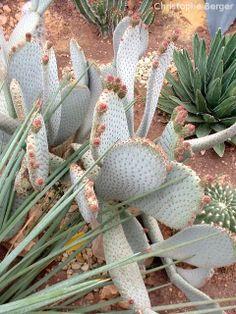 ♕cactus - Opuntia aciculata