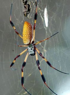 Banana Spiders – Guide on the Different Types of Banana Spiders - http://wolfspider.org/banana-spiders/