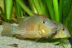 List of articles and Geophagus available Swordtail Fish, Platy Fish, South American Cichlids, Beautiful Tropical Fish, Fish For Sale, Colorful Fish, Fauna, Freshwater Fish, Catfish