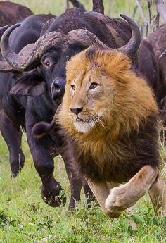 Water buffalo chasing a male lion