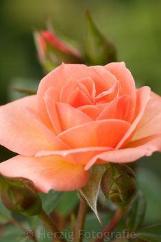 "Rosa ""Little Lady"" - Rose"