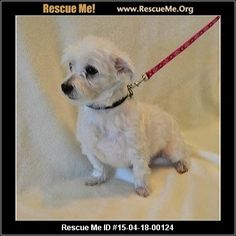 D: 15-04-18-00124Prince (male) Maltese Age: Young Adult Health: Neutered, Vaccinations Current Prince is a two year old male Maltese who weighs 8.6 pounds. He has a skin condition that will require him to be on oral medications for about three months. We would prefer he find a local adopter so we can have our vet monitor his skin (vet fees for his skin condition will be covered by Wish Bone through his treatment period). His hair is growing back really well. He tends to get lonely when no…