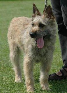 Bouvier des Ardennes Dogs