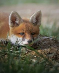 Animals Beautiful, Cute Animals, Fox Totem, Fox Face, Cute Animal Photos, Silver Foxes, Pet Fox, And So The Adventure Begins, Squirrel
