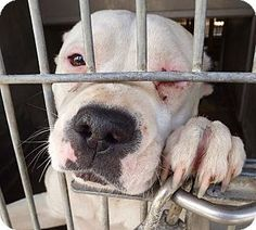 Seattle, WA. URGENT. BONNIE is a female, white [w/ black] Staffordshire Bull Terrier/Pit Bull Terrier Mix.  Size:Med. 26-60 lbs. Spayed, house trained, up to date with shots. This 1-year-old sweet little girl was begging to be rescued! She is people & dog friendly and loves everyone!  Look at her cute little face asking to become a permanent member of your family. to meet Bonnie, fill out an application at: www.savinggreatanimals.org. We look at the first applications to arrive.