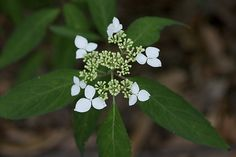 Hydrangea macrophylla var.amagiana
