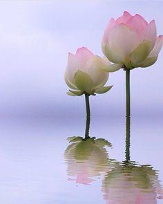 Lotus Flower Pictures, Lotus Flower Art, Lotus Bud, Blue Lotus, Amazing Flowers, Beautiful Flowers, Wallpaper Nature Flowers, Flower Power, Planting Flowers