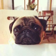 This how my pug looks Luke when she is sad