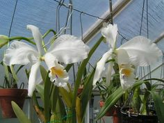 Cattleya Mossiae Var. Alba - Orchid Forum by The Orchid Source