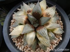 Haworthia emelyae 'Black Major' variegated, from the Zusung Collection.