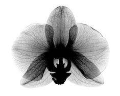 Orchid,+Small++X-Ray
