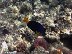 Red Sea Yellowtail Sailfin Copywrite Johanna Hurmerinta